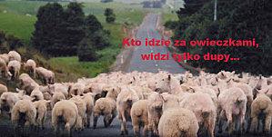 Kto idzie za owieczkami